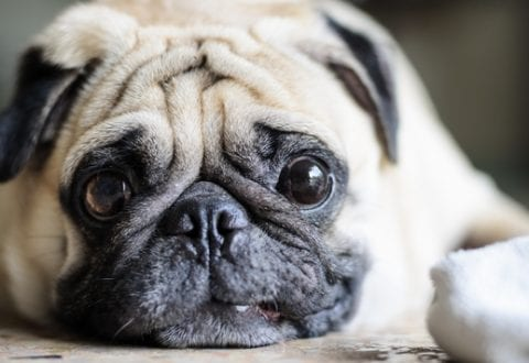 Tyk hund, foto: KU