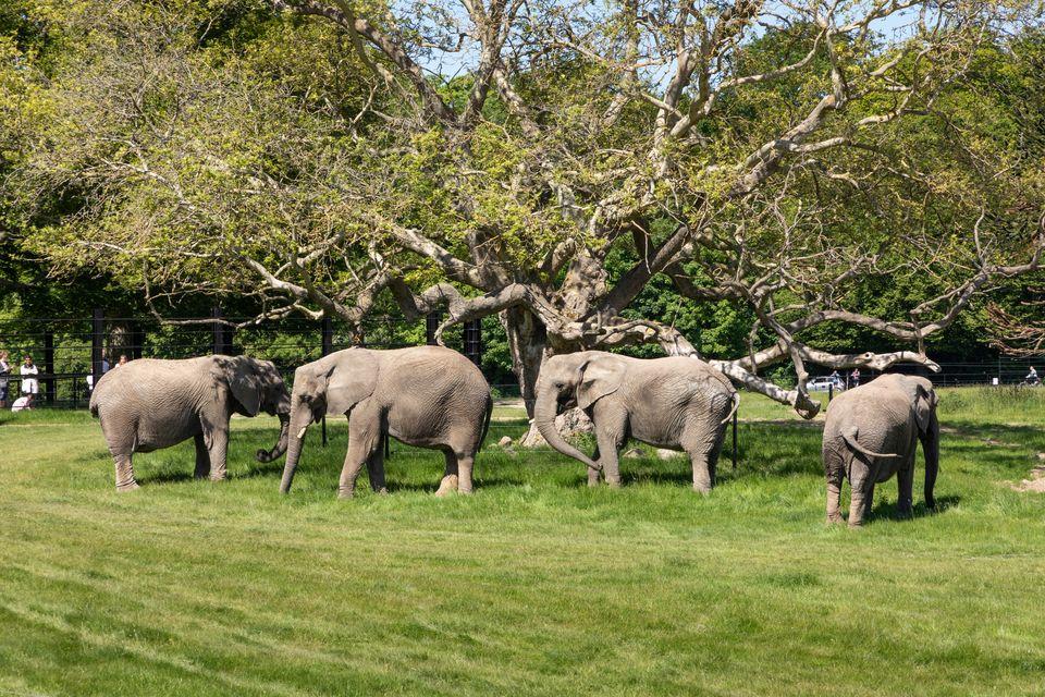 De pensionerede cirkuselefanter er nu på græs